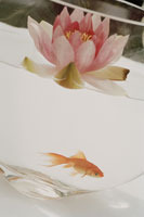 Lotus flower floating above goldfish