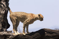A cheetah standing on a tree branch