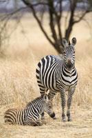 A zebra and calf