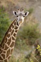 Headshot of a giraffe