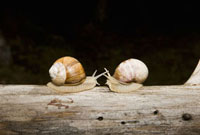 Two land snails (Gastropoda) face to face on a log