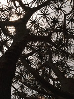 Silhouette of aloe tree viewed from the trunk up