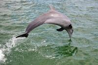 A dolphin jumping in the sea, Havana, Cuba