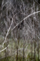 Focus on a single bare branch, bare trees in background crea
