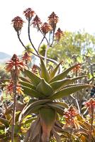 Aloe Striata plant