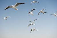Seagulls in a clear sunny sky