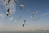A flock of seagulls flying above the sea, Istanbul, Turkey i