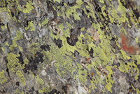 Algae growing on a rock, close-up, full frame