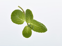 Mint leaves over white background