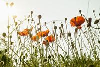 Poppy field against clear sky