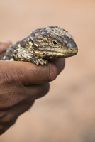 Cropped image of hand holding Shingleback Lizard outdoors