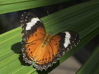 Close-up of Leopard Lacewing butterfly on leaf