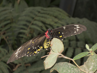 Close-up of Cairns Birdwing butterfly on plant