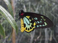 Close-up of Cairns Birdwing butterfly on leaf