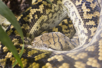Close-up of python