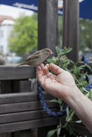 Hand feeding sparrow outdoors