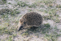Hedgehog on field