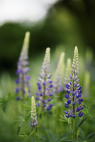 Close-up of purple lupine flowers growing at park