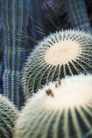 Full frame shot of barrel cactus