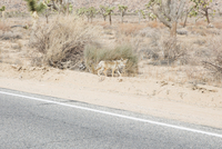 Fox walking by road at desert