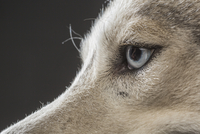Cropped image of Siberian Husky over gray background