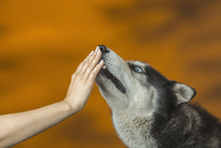 Close-up of hand touching Siberian Husky's mouth over colored background
