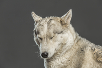 Siberian Husky with eyes closed over gray background