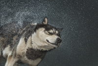 Siberian Husky shaking off water over gray background
