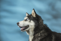 Siberian Husky looking away over blue background