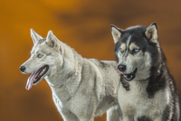 Siberian Huskies over colored background