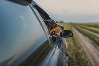 Border Collie looking through car window
