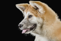 Japanese Akita looking away over black background