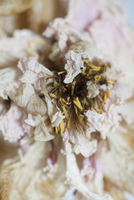 Close-up of drying flower