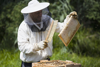 Beekeeper brushing bees from frame of hive at farm