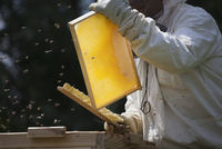 Midsection of beekeeper brushing bees from frame of hive at farm