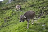 Cows walking on grassy mountain