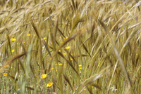 Close-up of cereal plants growing on field