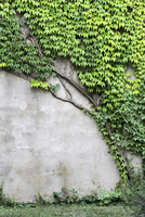 Detail of ivy growing on the wall of a building