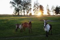 Horned goats standing on grassy field