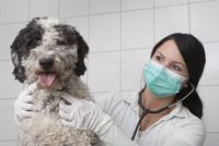 Young veterinarian examining dog in clinic 11016032103| 写真素材・ストックフォト・画像・イラスト素材|アマナイメージズ