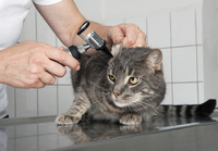 Cropped image of female vet examining cat's ear in clinic