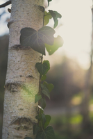 Close-up of ivy growing on tree during sunny day