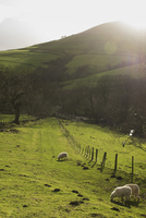 Sheep grazing on field against mountain during sunny day