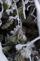 Close-up of frozen pine tree