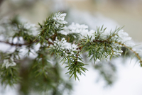 Close-up of snow on leaves