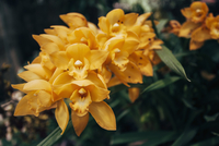 Close-up of orange orchids blooming outdoors