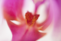 Macro shot of pink orchid