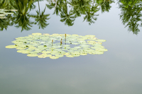 Lily pads and buds growing in lake with reflection