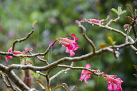 Close-up of pink flowers on tree during rainfall