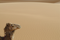 Side view of camel in Erg Chebbi, Morocco